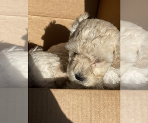 Maltipoo-Poodle (Miniature) Mix Puppy for sale in EL PASO, TX, USA