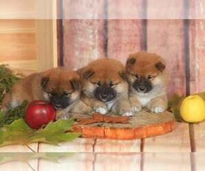 Shiba Inu Dog for Adoption in Corbeanca, Ilfov Romainia