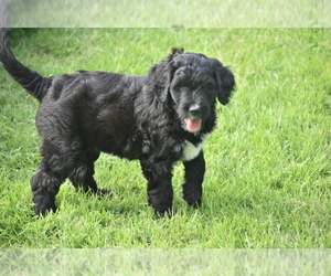 Bernedoodle Puppy for Sale in AUBREY, Texas USA
