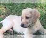 Puppy 1 Labrador Retriever-Unknown Mix
