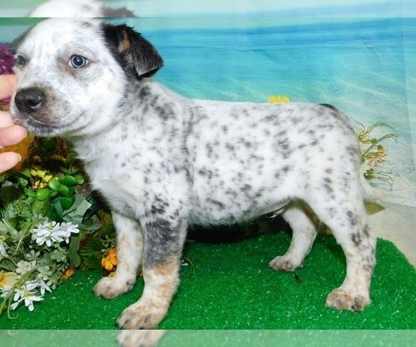 Medium Photo #2 Australian Cattle Dog Puppy For Sale in HAMMOND, IN, USA