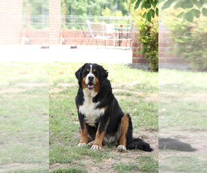 Bernese Mountain Dog Puppy for sale in THOMASVILLE, NC, USA