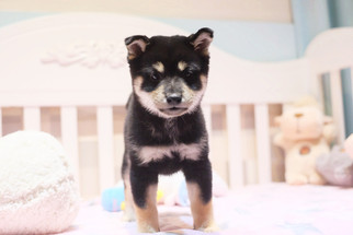 Black and Tan Shiba Inu Laurie