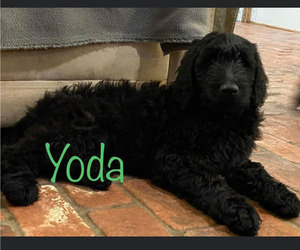 Goldendoodle Puppy for Sale in SHREVEPORT, Louisiana USA