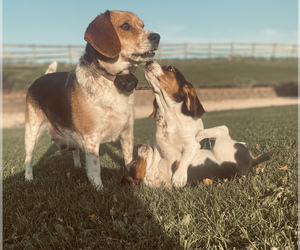 Beagle Puppy for sale in NEW VIENNA, IA, USA