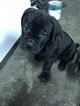 Cane Corso Puppy For Sale in CANYON COUNTRY, CA, USA