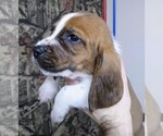 Small #15 Basset Hound