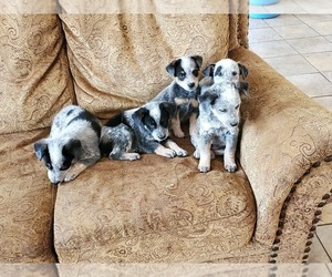Australian Cattle Dog Puppy for sale in COPPEROPOLIS, CA, USA