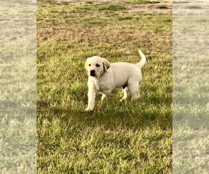 Labrador Retriever Puppy for Sale in SAFFORD, Arizona USA