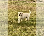 Labrador Retriever Puppy For Sale in SAFFORD, AZ, USA