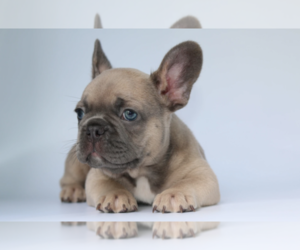 French Bulldog Puppy for sale in BEL TIBURON, CA, USA