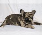 Small #1 Faux Frenchbo Bulldog