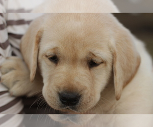 Labrador Retriever Puppy for sale in ROCKWOOD, TN, USA