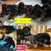 German Shepherd Dog Puppy For Sale in TIFTON, GA