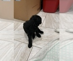 Small Photo #4 Poodle (Standard) Puppy For Sale in TAMPA, FL, USA