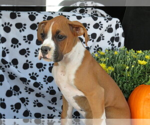 Boxer Puppy for Sale in SHILOH, Ohio USA