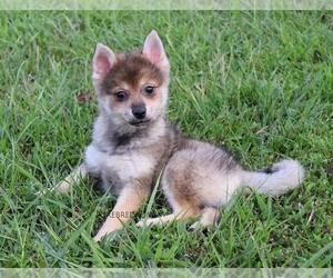 Pomsky Dog for Adoption in KANSAS CITY, Missouri USA