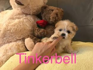 Maltipoo Puppy For Sale in LOS ANGELES, CA