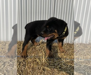 Rottweiler Puppy for sale in ORRVILLE, OH, USA