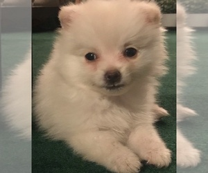Pomeranian Puppy for sale in COLTON, CA, USA