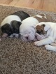 Bulldog Puppy For Sale in COLORADO SPRINGS, CO