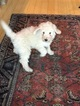 Goldendoodle-Poodle (Standard) Mix Puppy For Sale in GREAT BARRINGTON, Massachusetts,