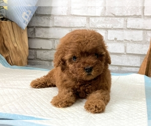 Poodle (Toy) Puppy for sale in SAN MATEO, CA, USA
