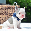 French Bulldog Puppy For Sale in FORT LAUDERDALE, Florida,