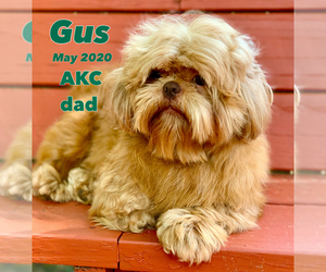 Father of the Shih Tzu puppies born on 08/14/2020