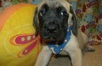 Mastiff Puppy For Sale in PATERSON, NJ, USA