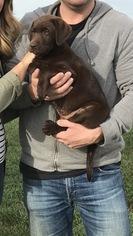 Labrador Retriever Puppy For Sale in RED BUD, IL, USA