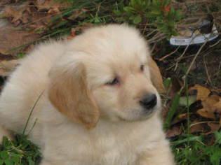 Golden Retriever Puppy For Sale in MATTAPOISETT, MA
