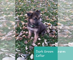 German Shepherd Dog Puppy for sale in LA FONTAINE, IN, USA