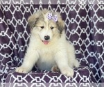 Small #13 Great Pyrenees