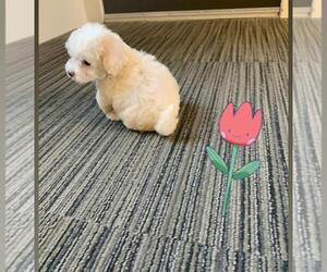 Maltipoo Puppy for sale in CHANDLER, AZ, USA
