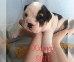 Puppy 2 English Bulldogge