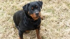 Rottweiler Puppy For Sale in PENDLETON, Kentucky,