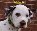 Dalmatian Puppy For Sale in ELKMONT, AL, USA