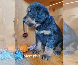 Miniature Labradoodle Puppy for sale in BRIDGEWATER, VA, USA