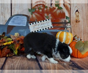 Miniature Australian Shepherd Puppy for Sale in EVANS, Colorado USA