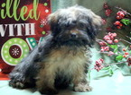 Shihpoo Puppy For Sale