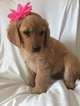 Golden Retriever Puppy For Sale in NIXA, Missouri,