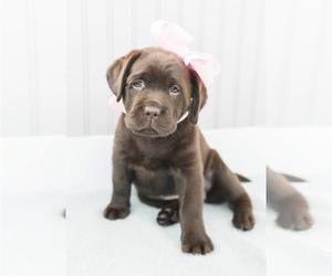 Labrador Retriever Puppy for sale in DALY CITY, CA, USA