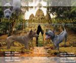 Small #2 Thai Ridgeback
