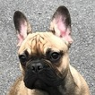 French Bulldog Puppy For Sale in NEW YORK, NY, USA
