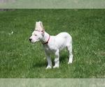 Small #4 Dogo Argentino