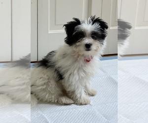 Shih Tzu-Shorkie Tzu Mix Dogs for adoption in LITTLE FALLS, NJ, USA