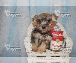 Schnauzer (Miniature) Puppy for Sale in SANGER, Texas USA