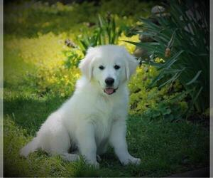 English Cream Golden Retriever Puppy for Sale in ARCHBALD, Pennsylvania USA