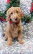 Tracy F1b Goldendoodle